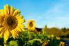 Sonnenblumen im Herbst (oʇ[◎]ɥd | ʍɟɐ) Tags: sonnenblume autumn deutschland verschiedenes landschaft herbst himmel germany sky landscape sunflower bokeh badenwürttemberg dogern deu blume blackforest pflanzen südbaden schwarzwald