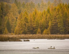 The soft Tamarack trees . . . (Dr. Farnsworth) Tags: ruggpond kalkaska valleyroad mist fog rain swans trumpeter native species tamarack trees larch deciduous needles fernridge mi michigan fall october2017