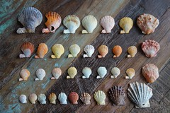 Little scallop shells from our local beaches (Celeste33) Tags: shells scallops beachcombing beachcomber sunsettones collection