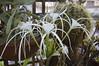Fioritura di Pancratium maritimum (costagar51) Tags: palermo sicilia sicily italia italy fiori piante natura