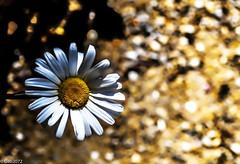 Di sogni dorati...... (gabrielebecattini) Tags: gabrielebecattini fiori natura colore piante petali nikon