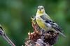 American goldfinch (julesnene) Tags: americangoldfinch california canon70300mmlens canon7dmark2 canon7dmarkii juliasumangil backyard female garden julesnene nature summer sunflower goldfinch