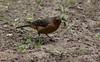 Pico cono rufo (Conirostrum rufum) (John Francisco Ávila) Tags: bird ave gusano oruga aves birds insctos endemica colombia
