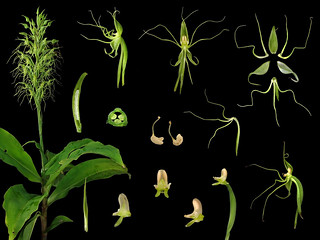 Orchidaceae Habenaria pantlingiana
