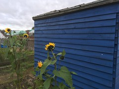 Photo of Sunflowers in front of the shed - Our allotment
