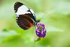 Costa-Rica-6331.jpg (ingmar_) Tags: costarica fauna gezin insect natuur vakantie vlinder zomervakantie