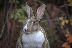 Les p'tits lapins (passion photos animalières) Tags: lapin canmore alberta rabbit vacances parcnationaldebanff pelouse
