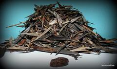 Olea europaea leaves (LeavesforPets) Tags: olea oleo oliva olivas olive olivetree olivo olivera olival hojas leaf leaves