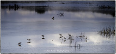 Sandpipers in the Marsh_DSC8613 photoshop NIK edit © (nkatesphotography) Tags: bombayhookwildliferefuge smyrnade nikontc14ell nikond5 nikonafs200400f4vrll birds waterfowl shorebirds wildlife nature sandpipers