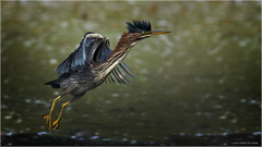 Green Heron - Explored Sept, 25, 2017 (Chris Lue Shing) Tags: aurora ontario canada ca nikond7100 tamronsp150600mmf563divcusd bird newmarket nokiidaatrail mckenziemarsh tree summer nature greenheron ©chrislueshing nikon tamron 150600 150600mm animal d7100 green heron wetland marsh balance stick pond water mohawk bif flight action birdinflight explore explored