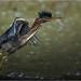 Green Heron (Chris Lue Shing) Tags: aurora ontario canada ca nikond7100 tamronsp150600mmf563divcusd bird newmarket nokiidaatrail mckenziemarsh tree summer nature greenheron ©chrislueshing nikon tamron 150600 150600mm animal d7100 green heron wetland marsh balance stick pond water mohawk bif flight action birdinflight
