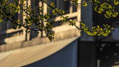 Backlit Gingko (Theen ...) Tags: adelaide alley backlighting blazes bright building closed empty fanshaped ginko green leaves light long low lumix middle rundlestreet sun theen traffic verandah walk zombiewalkadelaide