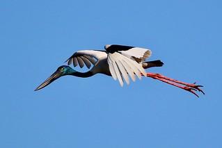 Black- necked Stork (Jabiru) coming in for a landing