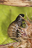 Tansy Beetle Grub - Chrysolina graminis (Prank F) Tags: woodwaltonfen greatfen wildlifetrust huntingdonuk insect macro closeup beetle leaf tansy larva grub chrysolinagraminis