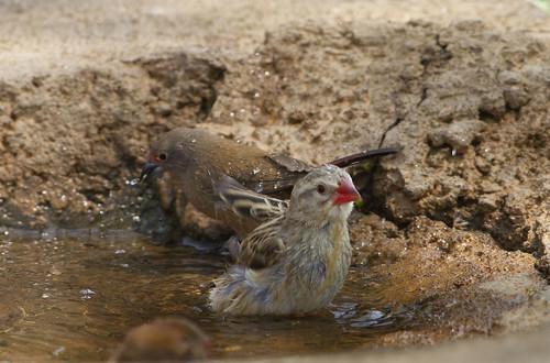 Red-billed Quelea , having a bath, Botsalano _9149