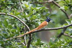 Asian Paradise Flycatcher (arthurpolly) Tags: avian avianexcellence abigfave birds bird beautiful canon 7dmk2 100400is eos elements13 exotic flickrdiamond asianparadiseflycatcher holiday impressedbeauty nature natureselegantshots nationpark naturesfinest photoshop srilanka yala wildlife z