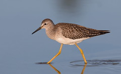 Lesser Yellowlegs. (mandokid1) Tags: canon ef400mmdoii 1dx birds shorebirds