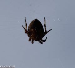 Silk Spinner (Katy Wrathall) Tags: 2017 autumn eastriding eastyorkshire england september arachnid garden spider