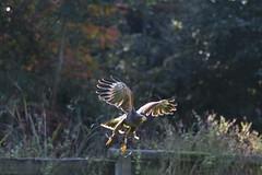 Prepare for landing (Photography by Martijn Aalbers) Tags: falconcrest birds vogels bird vogel birdofprey roofvogel eindhoven canoneos77d ef70200mmf4lisusm wwwgevoeligeplatennl