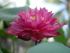 Nelumbo nucifera 'Russell' Wahgarden Thailand 11 (Klong15 Waterlily) Tags: russell nelumbo sacredlotus lotus lotusflower flower landscape wahgarden