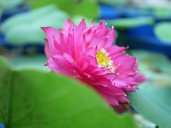 Nelumbo nucifera 'Russell' Wahgarden Thailand 12 (Klong15 Waterlily) Tags: russell nelumbo sacredlotus lotus lotusflower flower landscape wahgarden