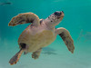 OCEANOGRÀFIC 1 (Sachada2010) Tags: sachada sachada2010 javier martin olympus epl6 valencia micro 43 panasonic 14mm zuiko 8mm 45mm f18 40150mm r oceanografic turtle tortuga boba 9mm fisheye