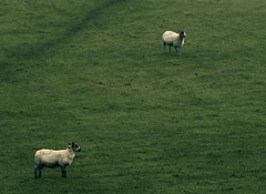Its Raining.. (graemes83) Tags: pentax da 300mm sheep rain grass field animal green white