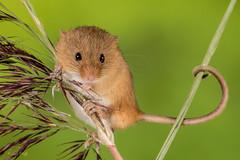 Harvest Mouse (Linda Martin Photography) Tags: libertys captivelight ringwood micromysminutus mouse harvestmouse animal coth alittlebeauty specanimal naturethroughthelens coth5 ngc npc specanimalphotooftheday