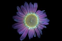 Shasta Daisy 1 s (C. Burrows) Tags: uvivf flower botany nature