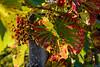Weinblatt im Herbst (Markus Rombach) Tags: weinblatt trauben herbst