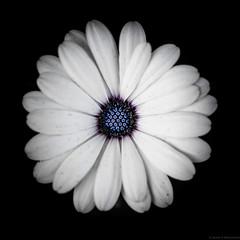 Daisy (Fret Spider) Tags: flower daisy bloom nectar white blue fall season square border vignette glencoeil chicagobotanicalgardens macro canonef100mmf28lisusm canoneos5dsr dslr prime beauty fragrance serenity happy joy gladness
