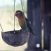 Fischer's lovebird or red headed parakeet  Dar es Salaam