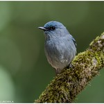 Dull-blue flycatcher thumbnail