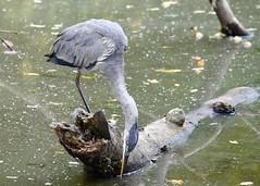 Follow Up #2 (Plummerhill) Tags: heron blueheron indiana onefoot injured