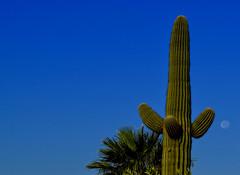 Cactus Moon (oybay©) Tags: suncitywest arizona unique unusual nightbloom night cactusflower cactus flower flora fiori blumen argentinegiant macro upclose color colors white whiteflower light greatshot coolshot cool indoor black background moon