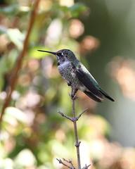 Anna's hummingbird (jlcummins - Washington State) Tags: bird hummingbird annashummingbird yakimacounty washingtonstate calypteanna coth coth5