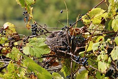 Condo with a view 'for rent' (Explored, my thanks to everyone) (outdoorpict) Tags: lakeside wild grapes leaves nest fall empty goneforthewinter sunny yellow purple weave vines