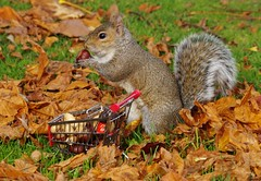grey squirrel  with shopping trolley cart  in park autumnleafs on grass . (19) (Simon Dell Photography) Tags: sheffield botanical gardens city park 2017 simon dell photography pan statue wood spirit god woods grey squirrel cute awesome funny countryfile springwatch autumn fall leafs uk england october weatjher seasonal with shopping cart trolley micro toy model coke bottle coca cola knuts conkers photo pic