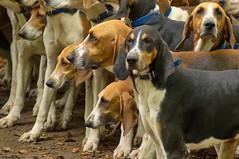Meute (Phil du Valois) Tags: meute chien chasse vénerie