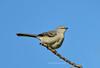 DSC_6681_AFS VR ED200-400mmF/4G IF Nikko (tonyew2008) Tags: afs vr ed200400mmf4g if nikko mockingbird 知更鸟