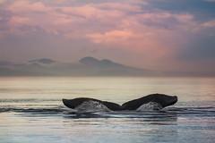 Whale Tail (Melanie Leeson) Tags: scenicwildlife canadianwildlife melanieleesonwildlifephotography mammals northamericanwildlife feeding behaviours humpbacks britishcolumbiawildlife humpbackwhales blingsister whales
