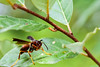 Wasp (thatSandygirl) Tags: insect wasp flyinginsect wings macro predatorywasp predator green leaves yellow brown summer wildlife nature outdoor animal