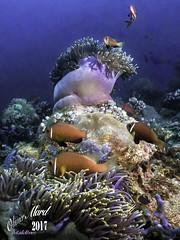 Maldives_IMG_2927-M1s (oalard) Tags: maldives dive plongee g16 canon submarinephotography photo sousmarine clown fish poissonclown anemone
