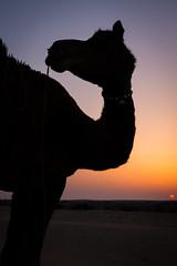 Rajasthan - Jaisalmer - Desert Safari with Camels-69