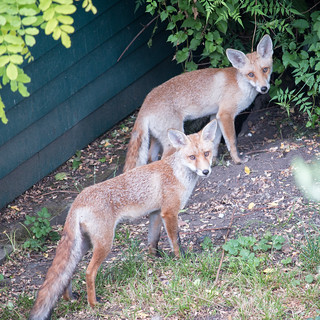 fox cubs next door