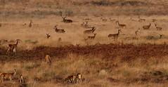 rush hour (explored) (westoncfoto) Tags: reddeer easternmoor rut derbyshire sundown moors