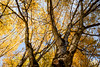 Finally (sleepnever) Tags: fall autumn tree leaf leaves yellow orange pnw sammamish washington canon 2470l robertwatts