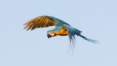 Arara Canindé (Ruy de Menezes Coitinho) Tags: avesdocentrooestebrasileiro aves araras ararascanindé birds brasil centrooeste goiás natureza ornitologia pássaros pássarosararas