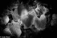 B&W conversion (judy dean) Tags: judydean 2017 autumn batsford arboretum vine leaves red