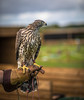 H is for Hawk (Paul M Loader) Tags: h is for hawk goshawk owls about town selsey bird prey canon5dmkivmk4 ef85mmf18